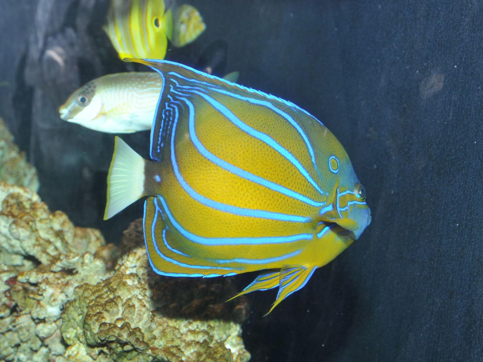 Angelfish - Angelfish