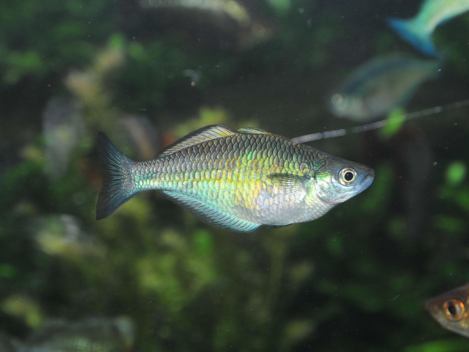 The online zoo lake kutubu rainbowfish for Turquoise rainbow fish