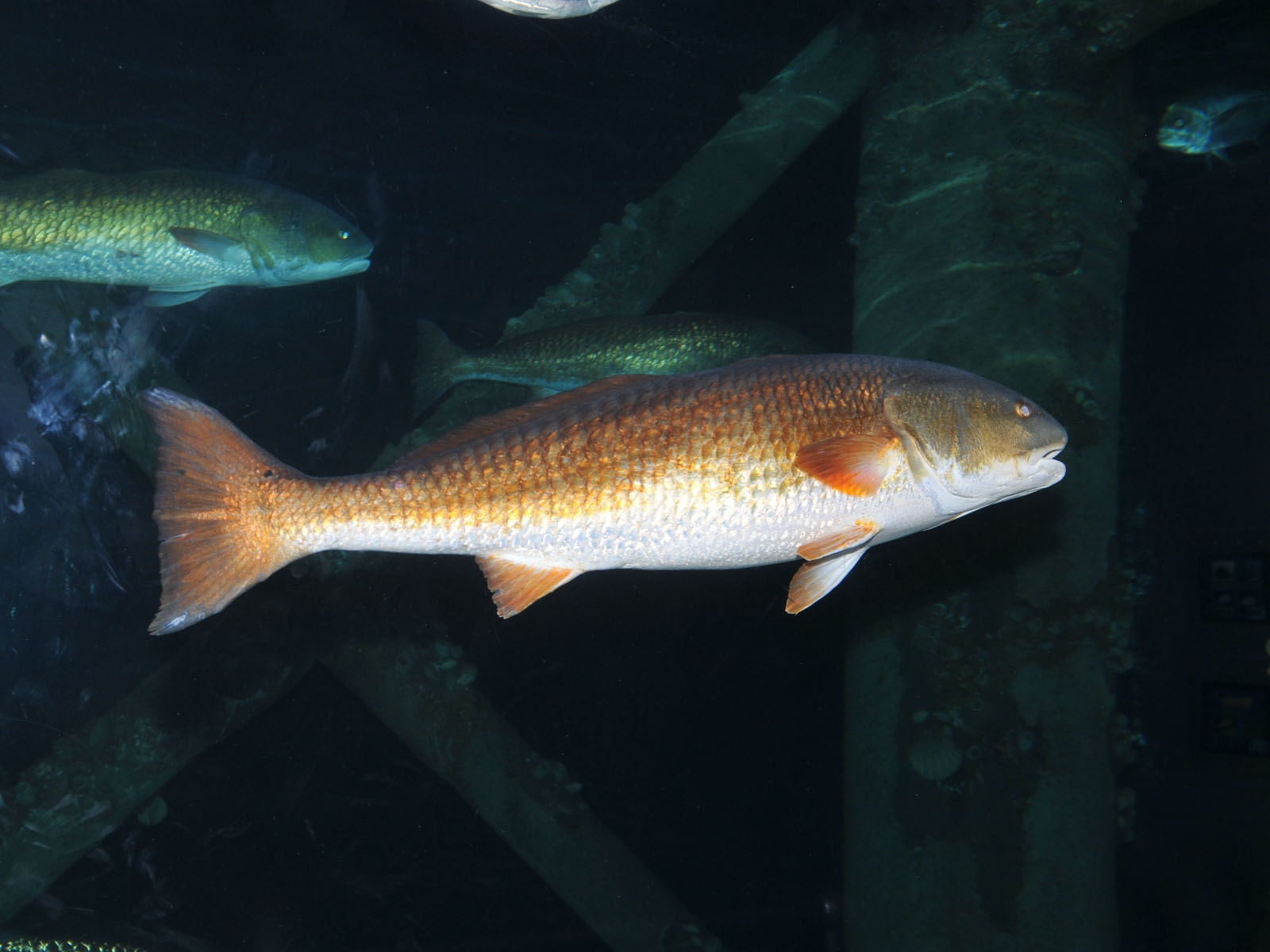 The online zoo red drum for Red drum fishing