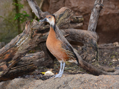 Fulvous x White-faced Whistling-duck