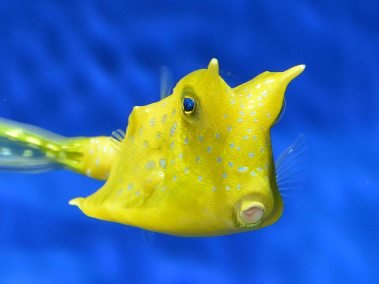 The Online Zoo - Longhorn Cowfish
