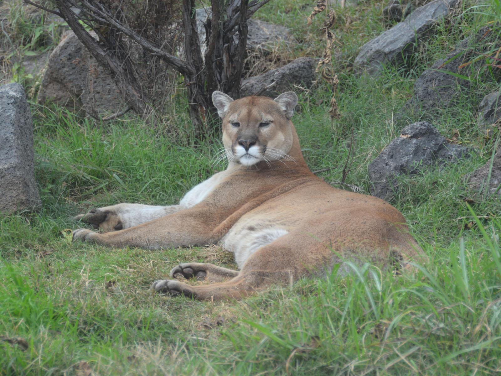 cougar oklahoma