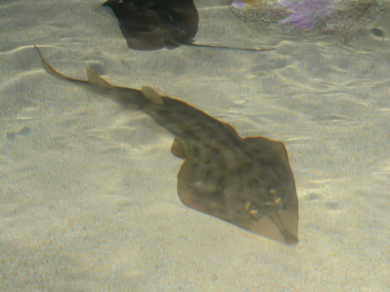 Shovelnose Guitarfish The online zoo - unidentified cartilaginous fish