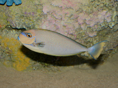 Bignose Unicornfish