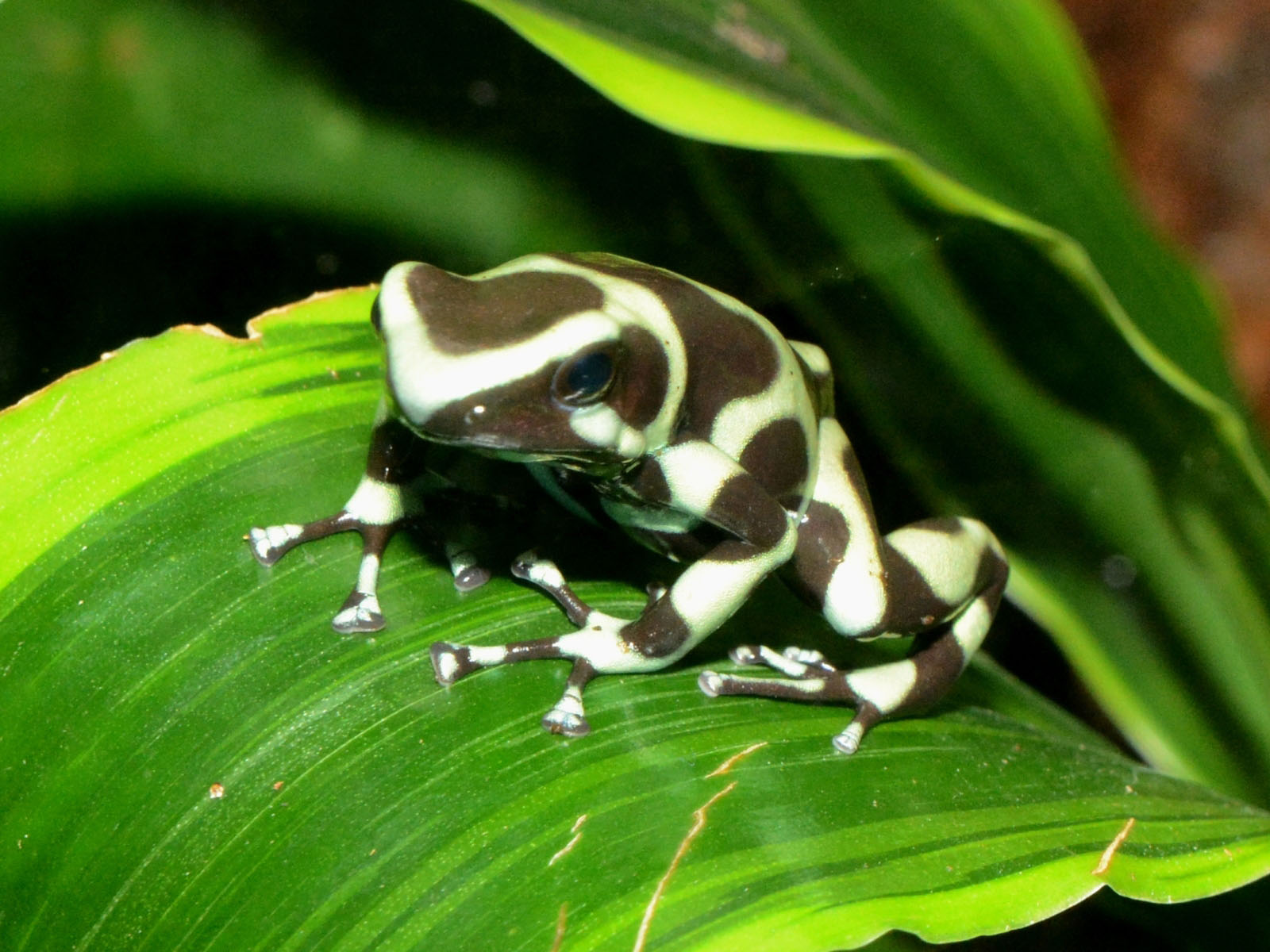 The Online Zoo - Green & Black Poison Dart Frog